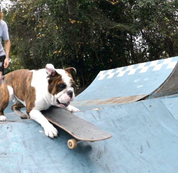 Marty The Bulldog Learns How To Skateboard!